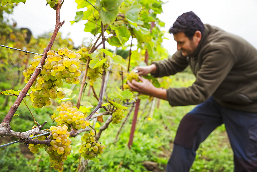 Person picking bunches of grapes from a vine.