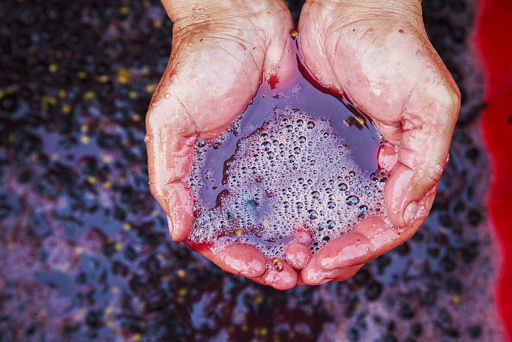 A man with his hands in fresh crushed red grapes and juice.