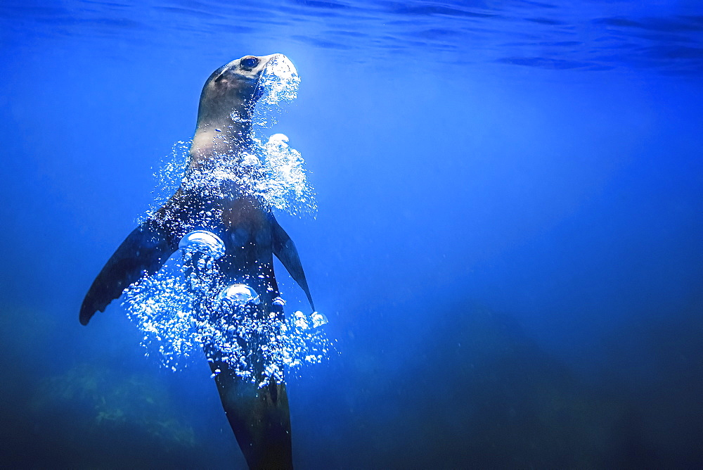 A Gal�pagos Seal underwater, rising upwards, blowing a trail of air bubbles,
