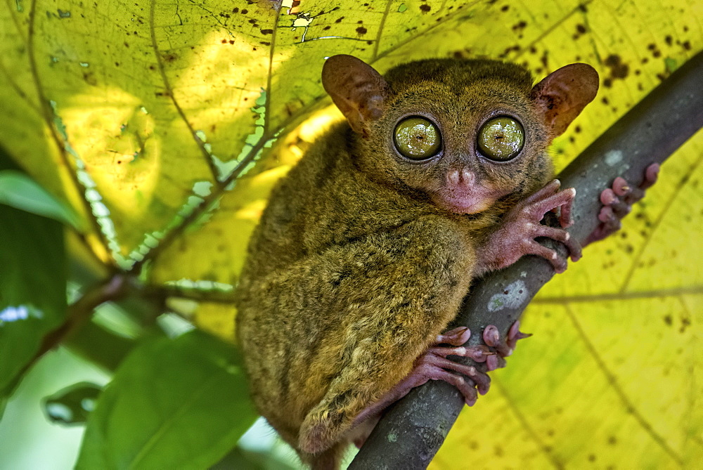 A small nocturnal animal, the tarsier, with fixed round eyes, on a tree branch, United States of America