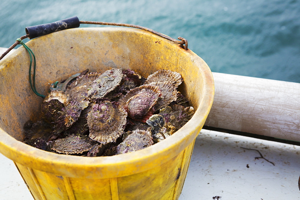 Traditional Sustainable Oyster Fishing, a bucket full of oysters, Fal Estuary, Cornwall, England