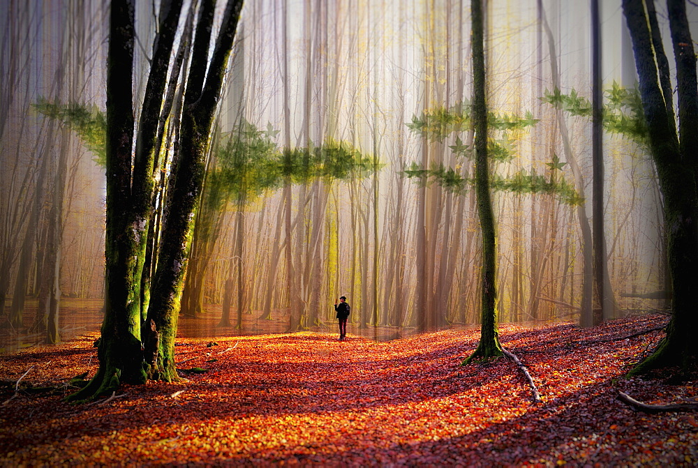 A person walking in a woodland of tall trees with sun shining on the ground covered with autumn leaves.