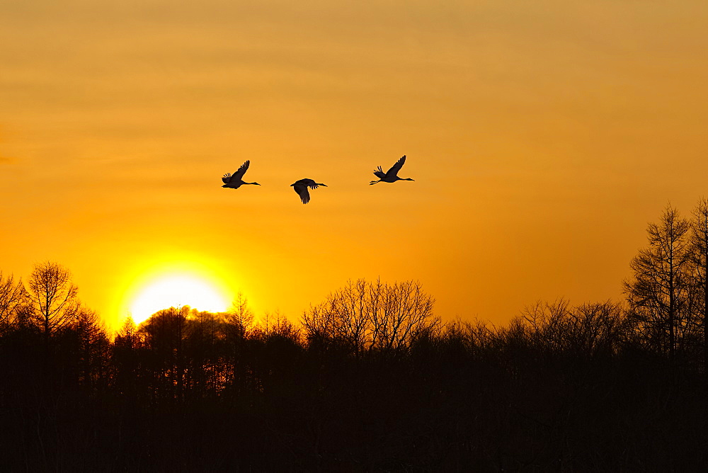 Silhouette of three red-crowned cranes, Grus japonensi, Japanese crane, in flight at sunset, Hokkaido, Japan