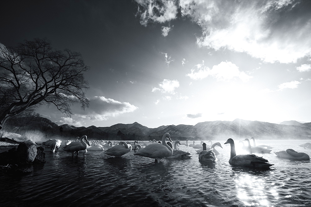 Flock of white Swans on a lake, Hokkaido, Japan