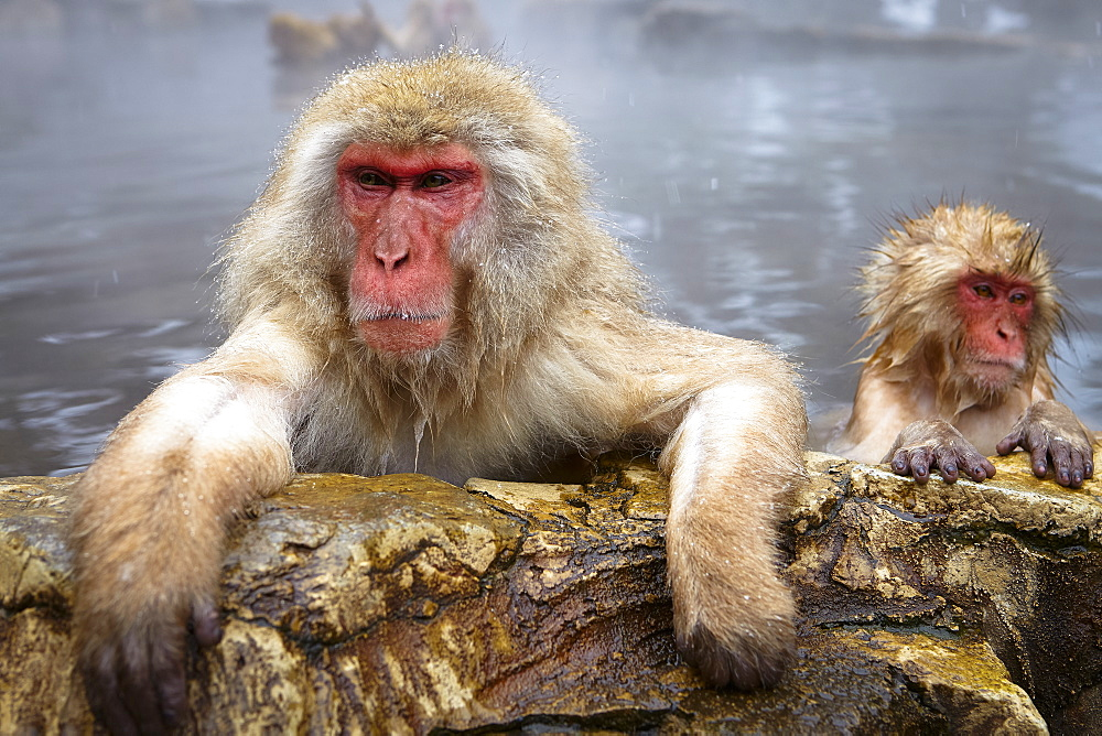 Two Japanese Macaque, Snow Monkey, Macaca fuscata, bathing in hot spring, adult and young animal, Nagano, Japan - 1174-4461