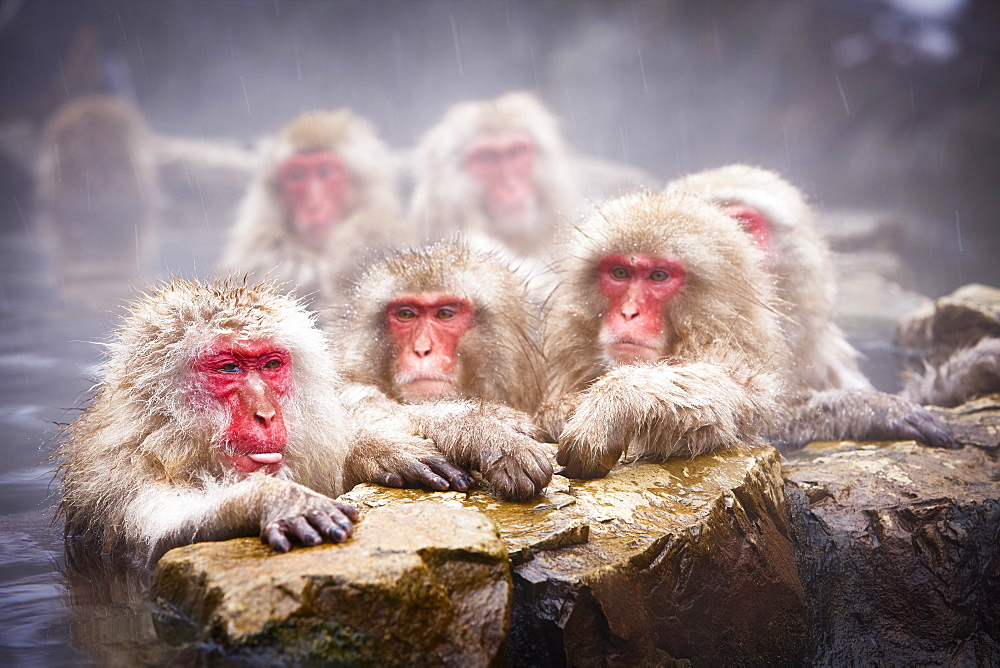 Group of Japanese Macaque, Snow Monkey, Macaca fuscata, bathing in hot spring, Nagano, Japan