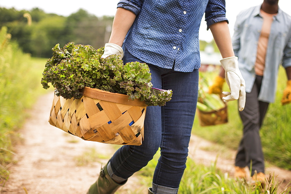 Working on an organic farm. A woman holding a handful of fresh green vegetables, produce freshly picked, Woodstock, New York, USA