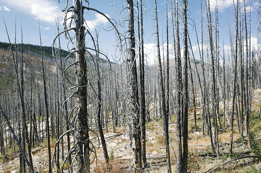 Fire damaged forest from extensive wildfire, near Harts Pass, Pasayten Wilderness, Washington, United States of America
