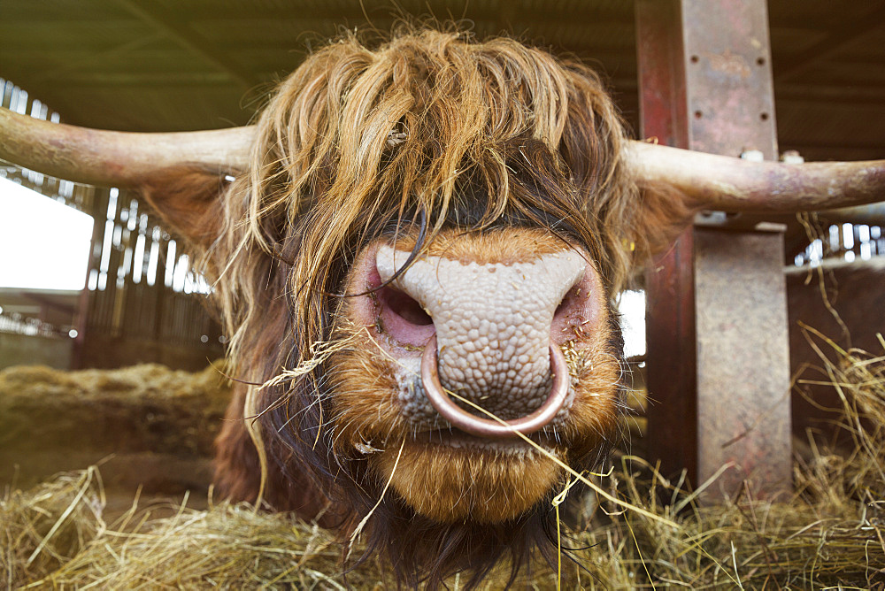Close up of brown Scottish Highland bull with long wavy coat and nose ring in a barn, England, United Kingdom