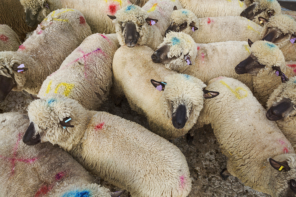 High angle view of herd of sheep with blue and pink dye marks, England, United Kingdom