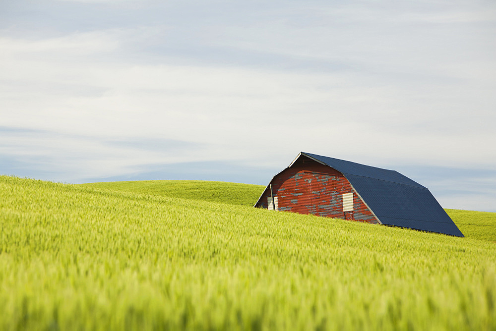 The roof and walls of a red barn in a dip in the rolling landscape and tall summer wheat in Palouse, United States of America