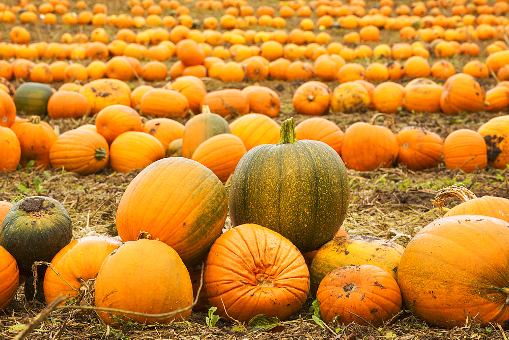 Rows of bright yellow, green and orange pumpkins harvested and left out to dry off in the fields in autumn, England, United Kingdom