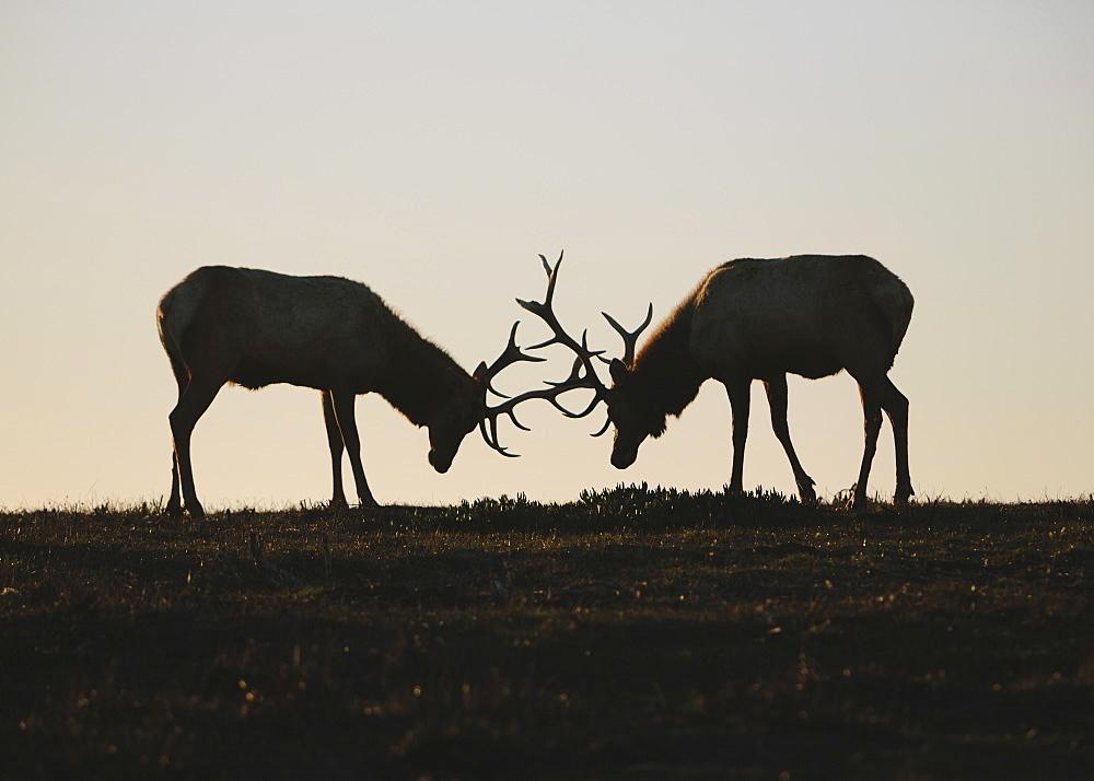 Silhouette of two Tule elk with locked antlers at dusk.