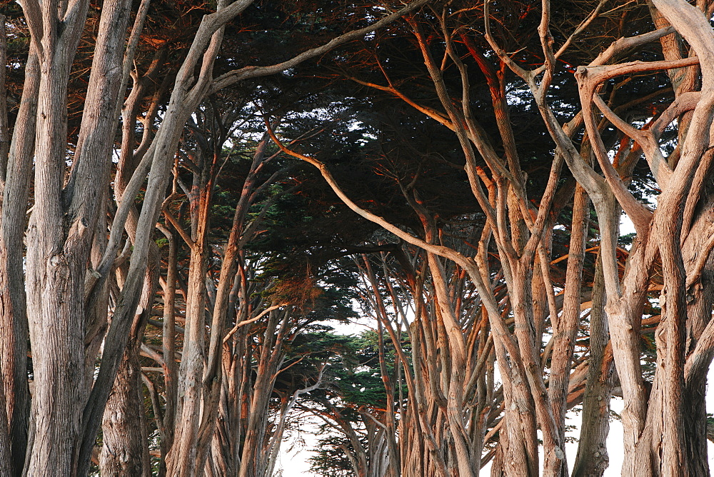 Low angle view along alley of gnarly Cypress trees at dusk. - 1174-4611