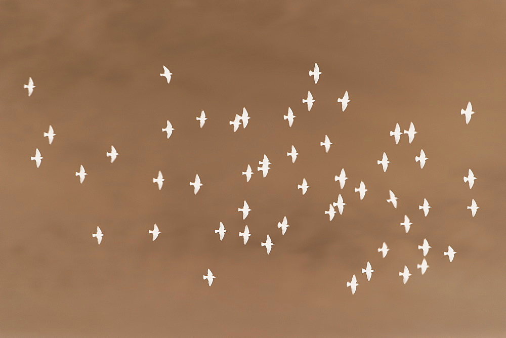 Abstract of starlings flying across overcast sky. - 1174-4640