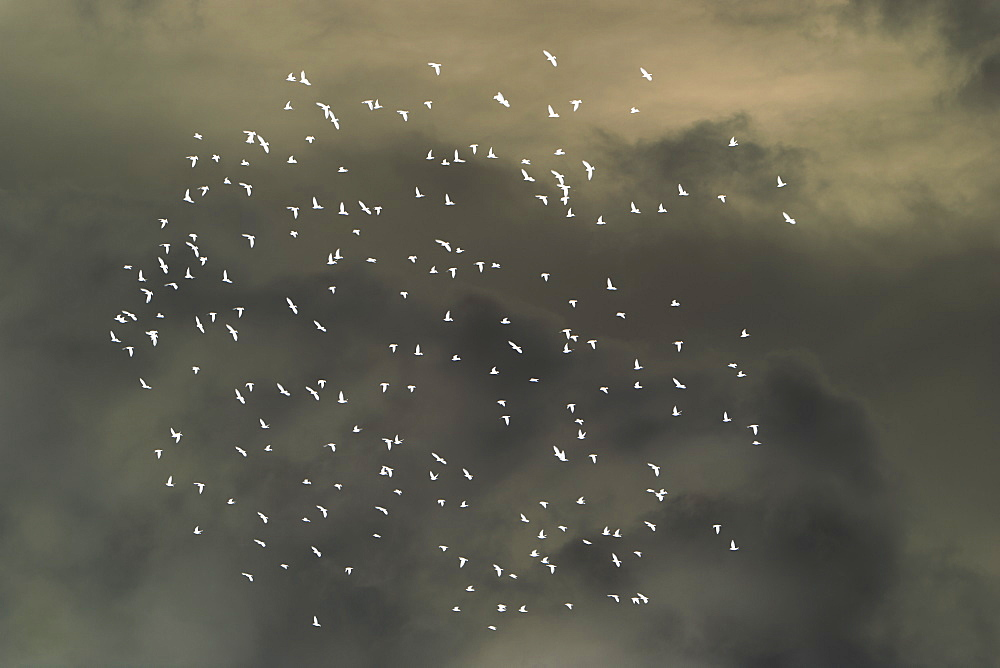 Abstract of starlings flying across overcast sky.