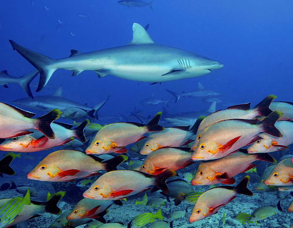 Marine life, fish in the waters of the South Pacific. A grey reef shark among a humpback red snapper shoal.