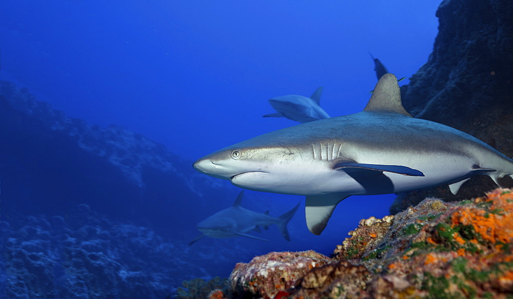 Gray reef sharks in the warm waters above a coral reef. - 1174-4655