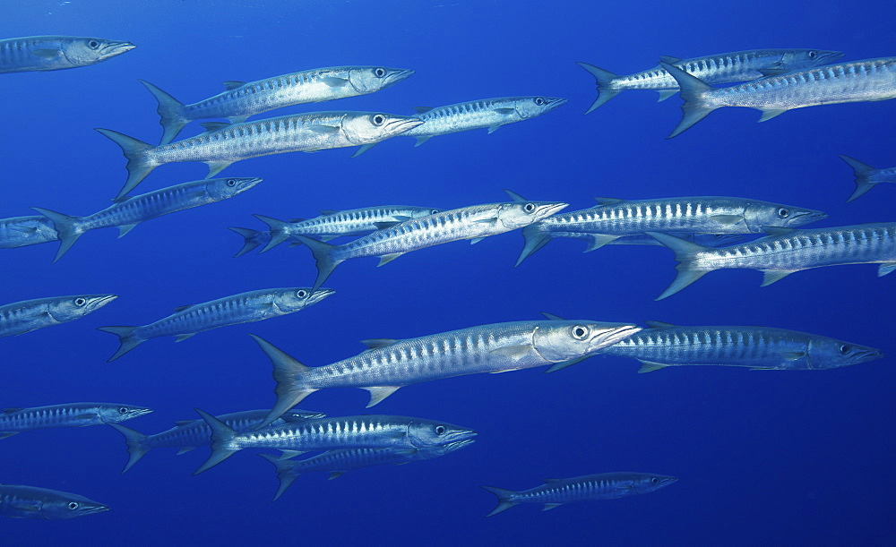 School of Blackfin barracuda in the water near the Rangiroa atoll, French Polynesia