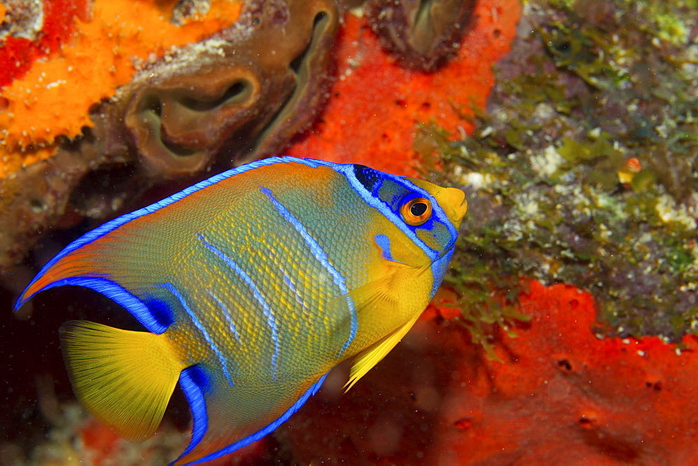 Close-up of a juvenile Queen angelfish on the seabed. - 1174-4662