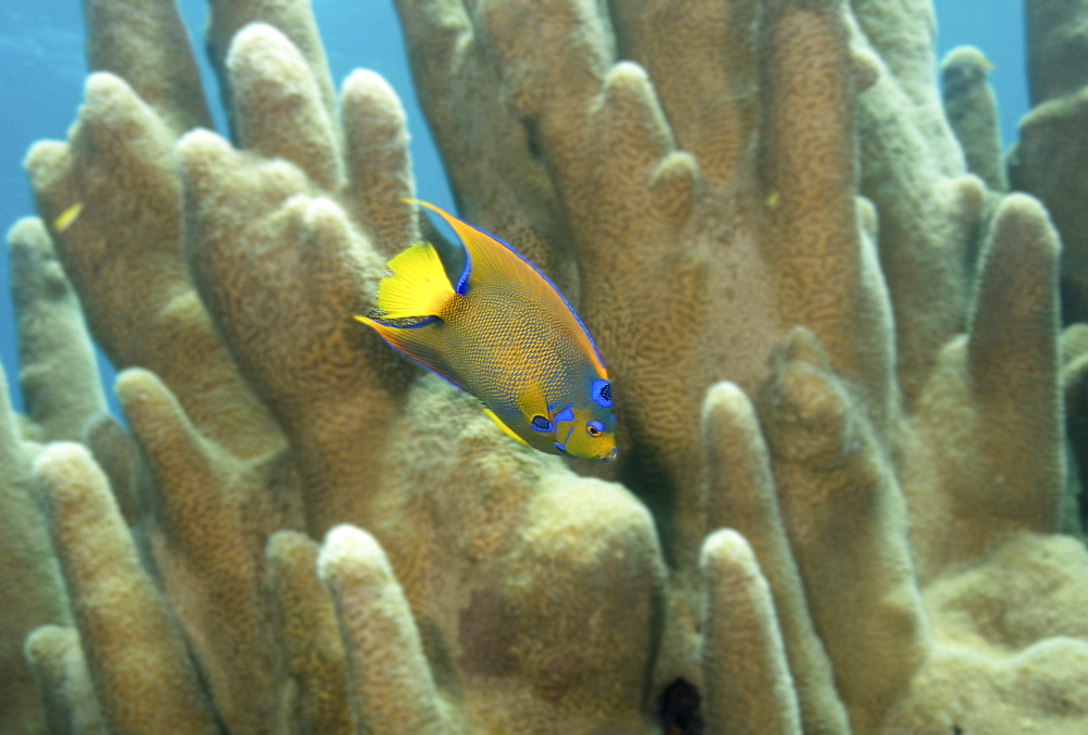 Queen angelfish swimming through Pillar coral.