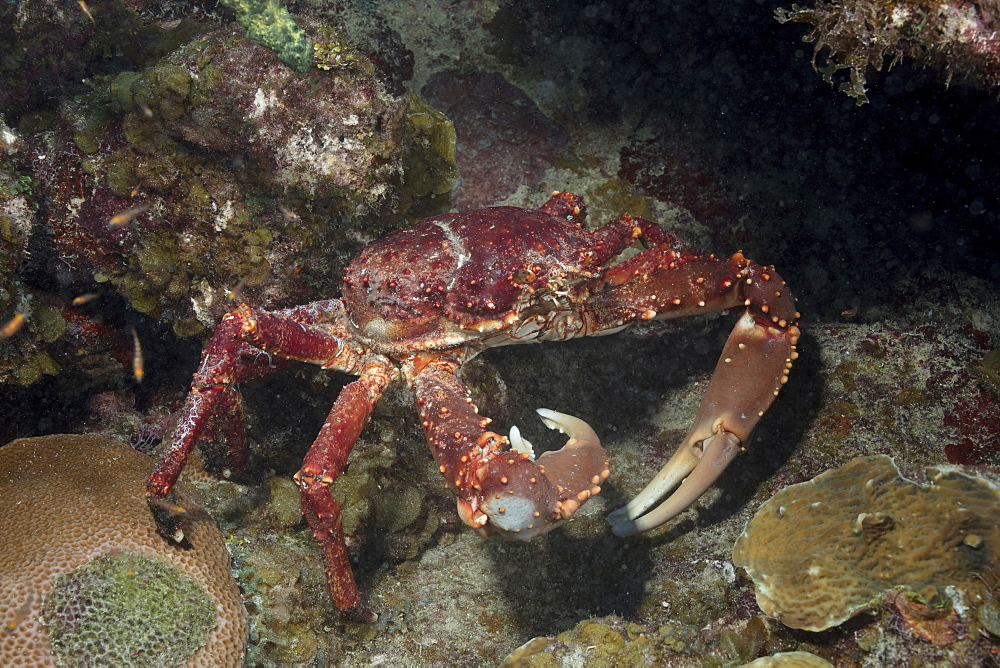 Channel-clinging crab foraging for food in a marine reserve. - 1174-4669