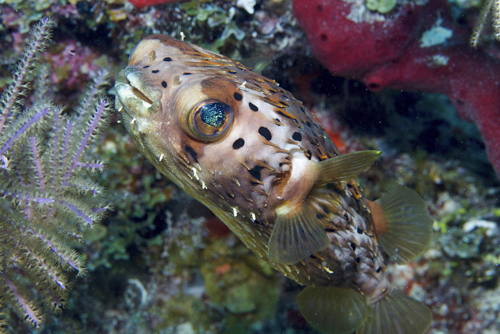 Opaline eyes of a Longspined porcupine fish, a balloon.