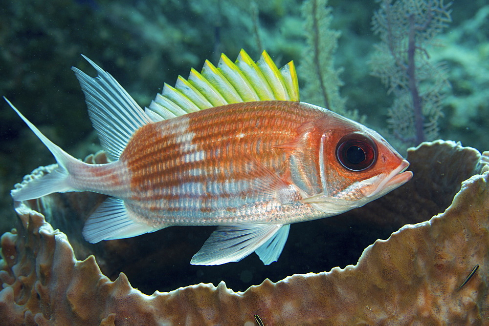 Squirrelfish (Holocentrus adscensionsis) finds shelter near a large Barrel sponge.