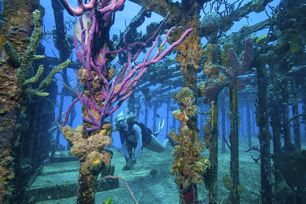 Diver swims amid the remains of the Willaurie shipwreck, Nassau, Bahamas
