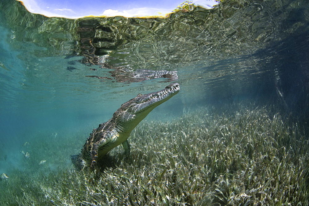 A captive crocodile underwater, snout in the surface of the water at the Garden of the Queens marine park, Cuba.