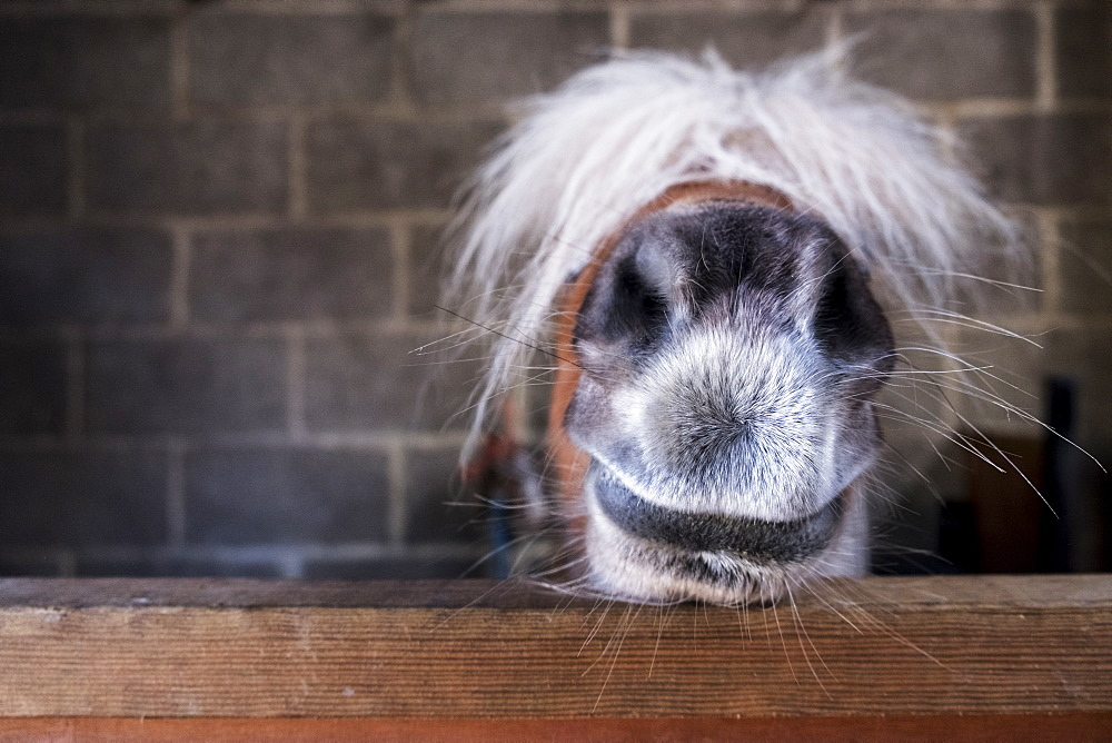 Close up of a Shetland pony's muzzle on the top of a stable door, with a white mane over it's eyes, United Kingdom