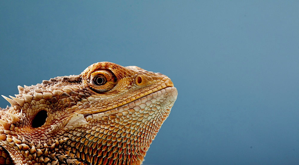 Portrait of head of Bearded Dragon (Pogona) against blue background, England