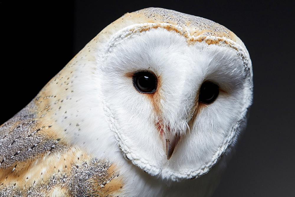 Portrait of a barn owl (Tyto alba) against black background, England