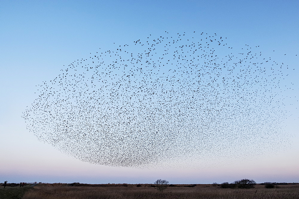 Spectacular murmuration of starlings, a swooping mass of thousands of birds in the sky, England, United Kingdom
