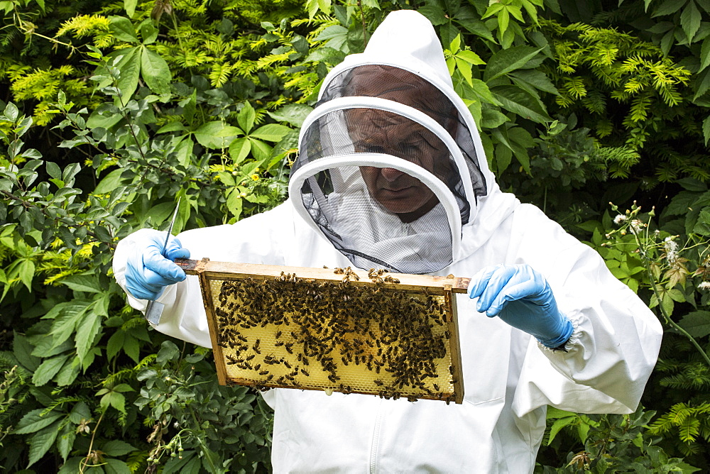 Beekeeper wearing protective suit at work, inspecting wooden beehive, England, United Kingdom - 1174-4787