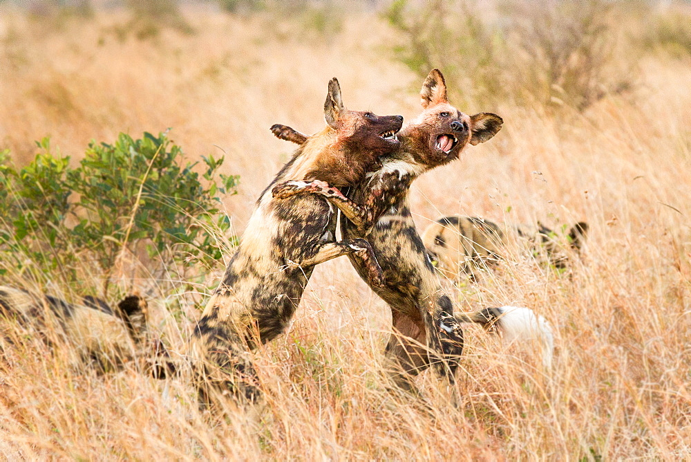 Two wild dogs, Lycaon pictus, stand on their hind legs in long dry grass and fight, bloody faces, showing teeth, Londolozi Game Reserve, Sabi Sands, Greater Kruger National Park, South Africa