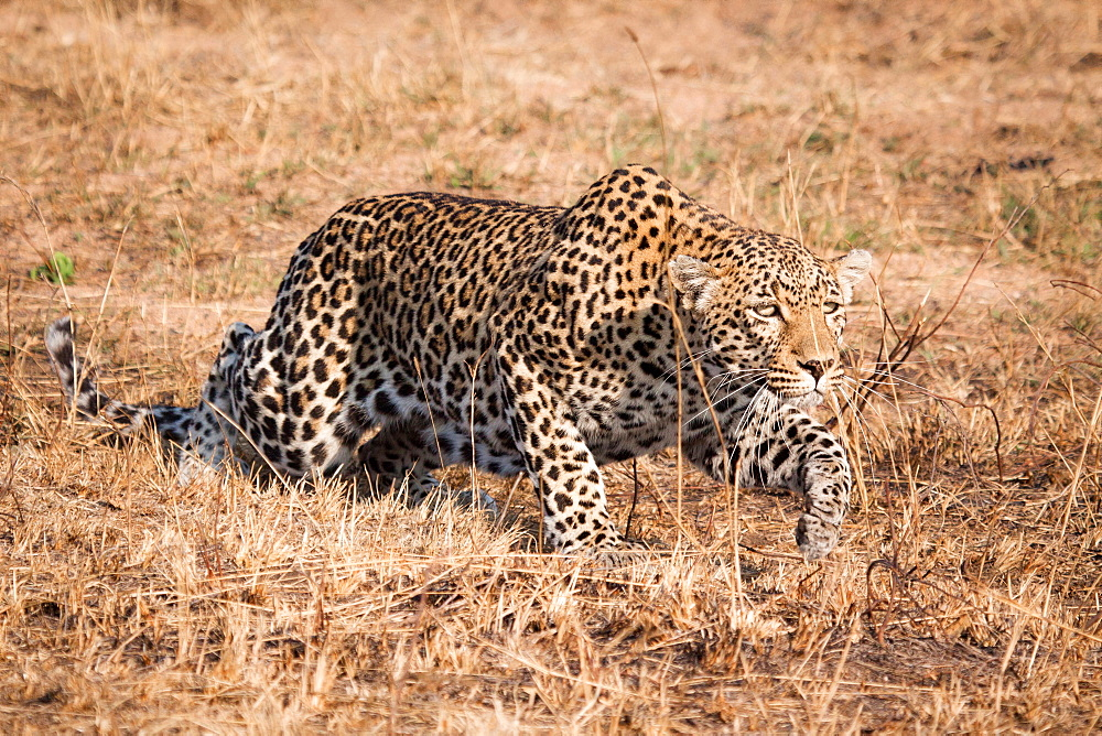 A leopard, Panthera pardus, crouching low, stalks through dry grass, ears back, Londolozi Game Reserve, Sabi Sands, Greater Kruger National Park, South Africa - 1174-4953