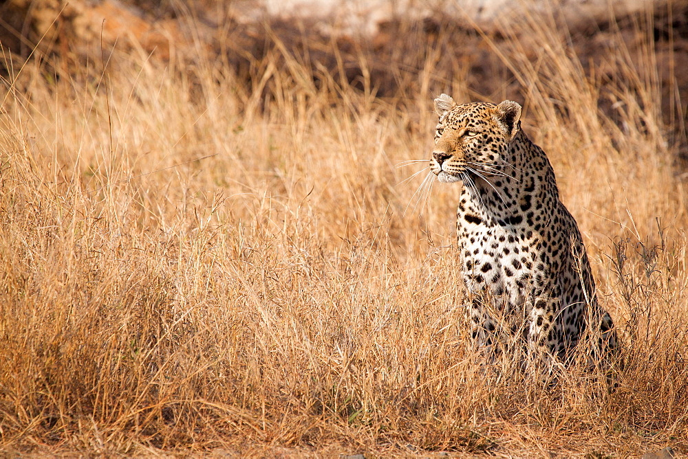 A leopard, Panthera pardus, sits in tall dry yellow grass looking around, ears facing forward, Londolozi Game Reserve, Sabi Sands, Greater Kruger National Park, South Africa - 1174-4954