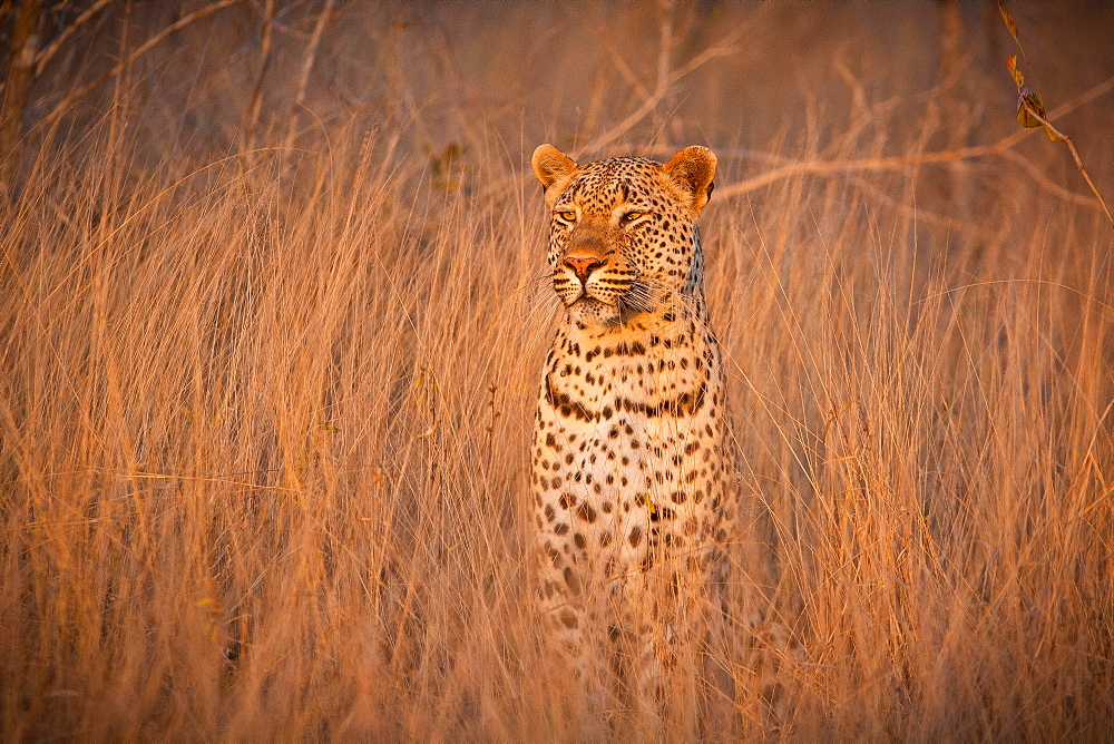A leopard, Panthera pardus, sits in tall dry brown grass and looks around alert, ears facing forward, Londolozi Game Reserve, Sabi Sands, Greater Kruger National Park, South Africa - 1174-4958