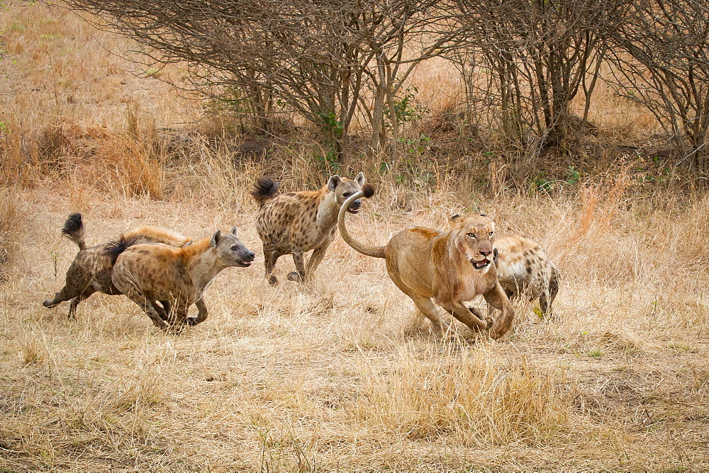 Four spotted hyenas, Crocuta crocuta, run and chase after a lion, Panthera leo, through dry yellow grass, Londolozi Game Reserve, Sabi Sands, Greater Kruger National Park, South Africa - 1174-4963