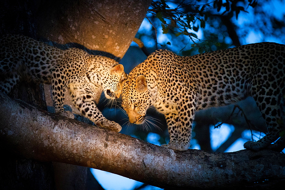 A leopard mother, Panthera pardus, and her cub, stand on the branch of a tree with the spotlight on them, looking away, touching heads, Londolozi Game Reserve, Sabi Sands, Greater Kruger National Park, South Africa - 1174-4966