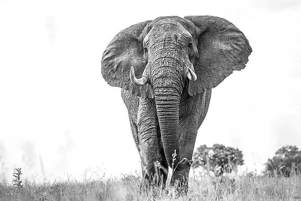 An elephant, Loxodonta africana, with alert, standing in short grass, large ears and tusks, in black and white, Londolozi Game Reserve, Sabi Sands, Greater Kruger National Park, South Africa