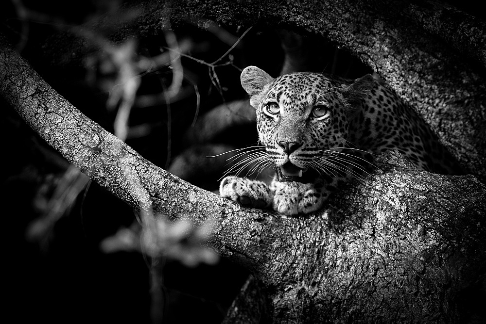 A leopard cub's head and paws, Panthera pardus, sitting in a tree in black and white, looking away with mouth open, Londolozi Game Reserve, Sabi Sands, Greater Kruger National Park, South Africa
