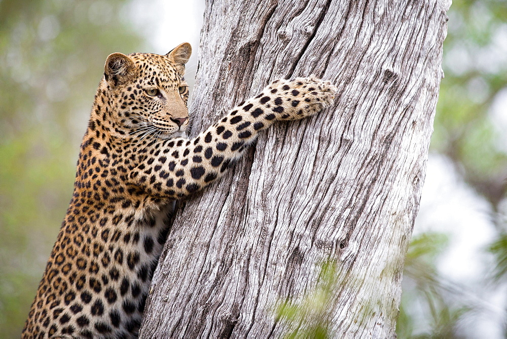 A leopard cub, Panthera pardus, looks away, clings to a tree trunk with its claws, Londolozi Game Reserve, Sabi Sands, Greater Kruger National Park, South Africa