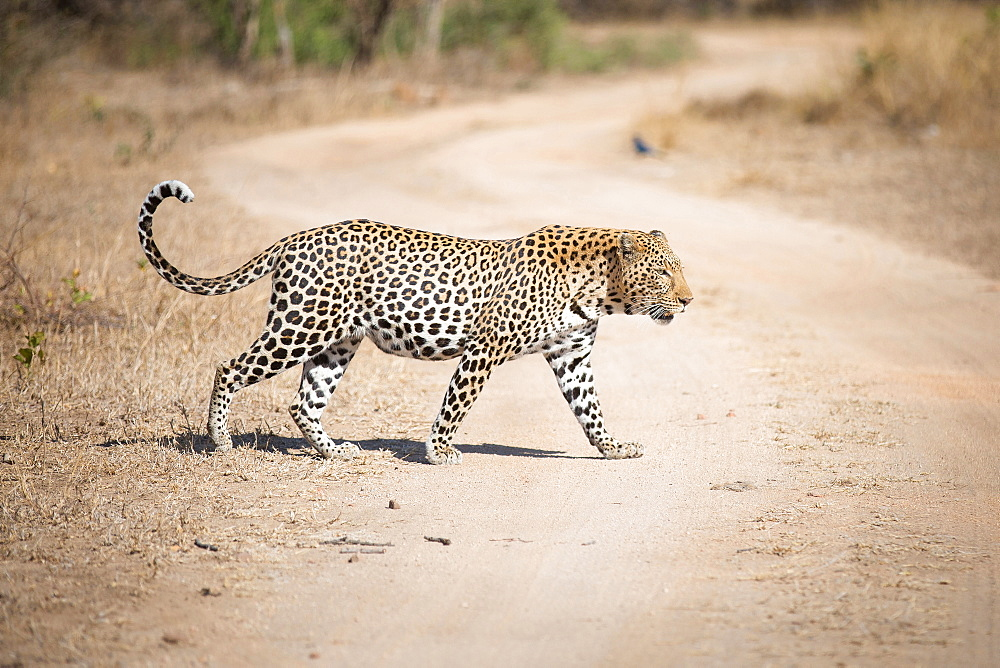 A leopard, Panthera pardus, walks across a dirt road, looking away, tail curled up, Londolozi Game Reserve, Sabi Sands, Greater Kruger National Park, South Africa
