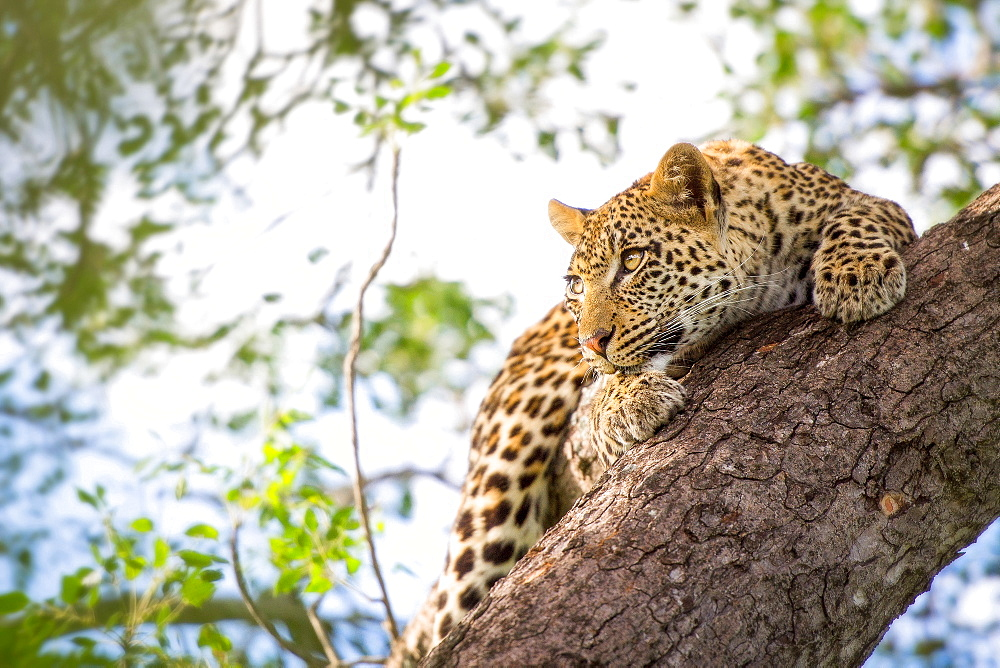 A leopard cub, Panthera pardus, clings onto a vertical marula tree trunk, Sclerocarya birrea, with its claws as it looks away, Londolozi Game Reserve, Sabi Sands, Greater Kruger National Park, South Africa - 1174-4983