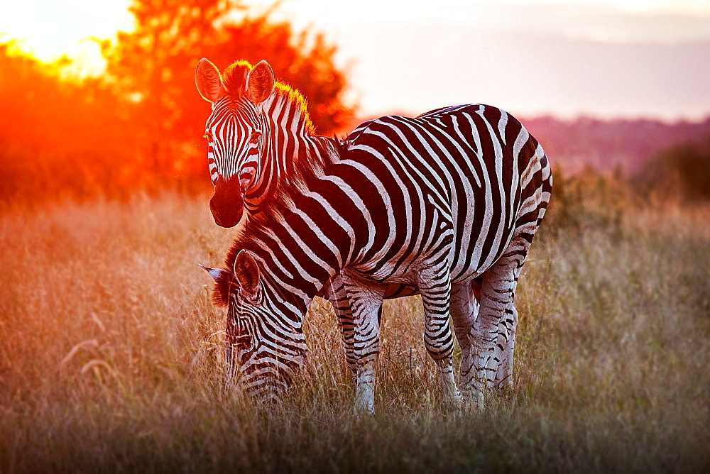 Two zebra, Equus quagga, standing in dry brown grass, backlit at sunset, one looking up one grazing, Londolozi Game Reserve, Sabi Sands, Greater Kruger National Park, South Africa