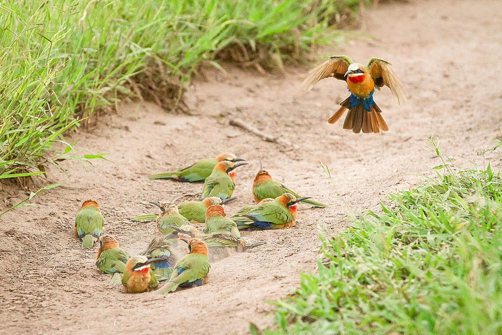 A flock of white-fronted bee-eaters, Merops bullockoides, lie on sand while one flies down, wings up and tail spread, Londolozi Game Reserve, Sabi Sands, Greater Kruger National Park, South Africa