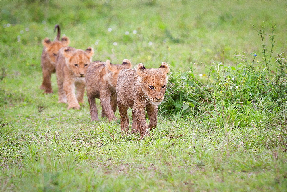 Lion cubs, Panthera leo, walk in a line in green grass, looking away, wet fur, Londolozi Game Reserve, Sabi Sands, Greater Kruger National Park, South Africa