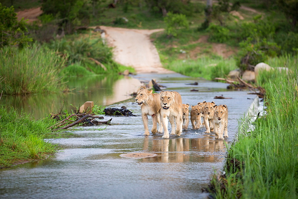 A pride of lion, Panthera leo, and their cubs walk through a river causeway, ears back, wound on one leg, Londolozi Game Reserve, Sabi Sands, Greater Kruger National Park, South Africa